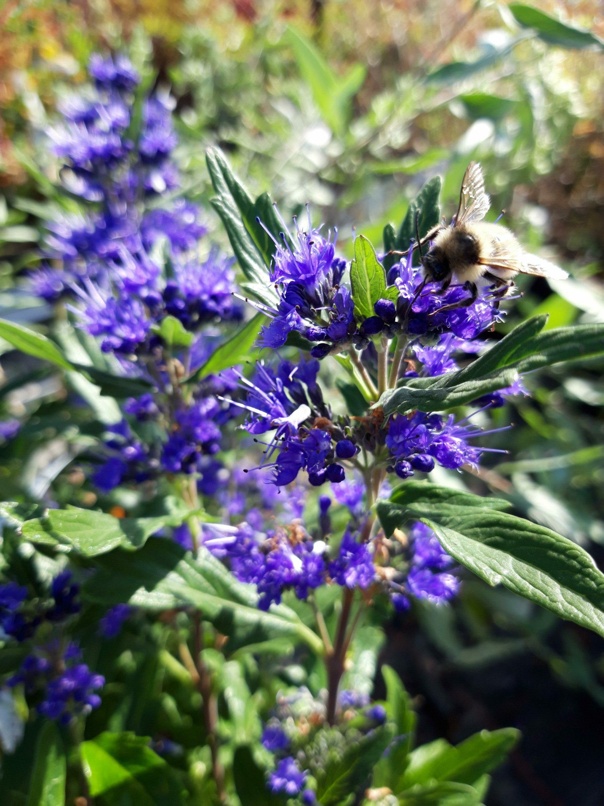 Strauch mit Biene aus dem Sortiment der Manz Gartenwelt in Stühlingen-Schwerzen am Hochrhein.