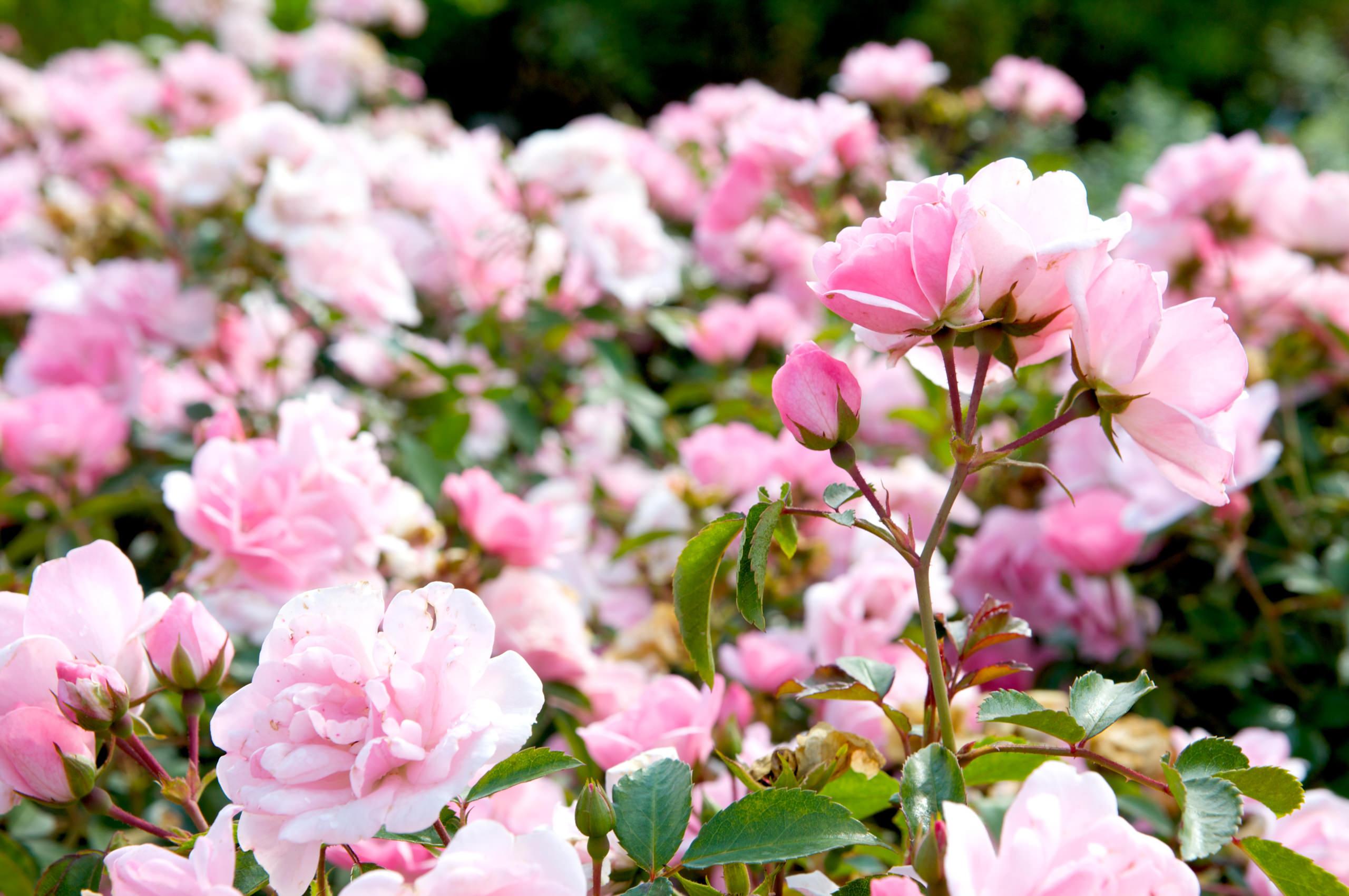 Strauch heimischer altroter Rosen aus dem Sortiment der Manz Gartenwelt in Stühlingen-Schwerzen am Hochrhein.
