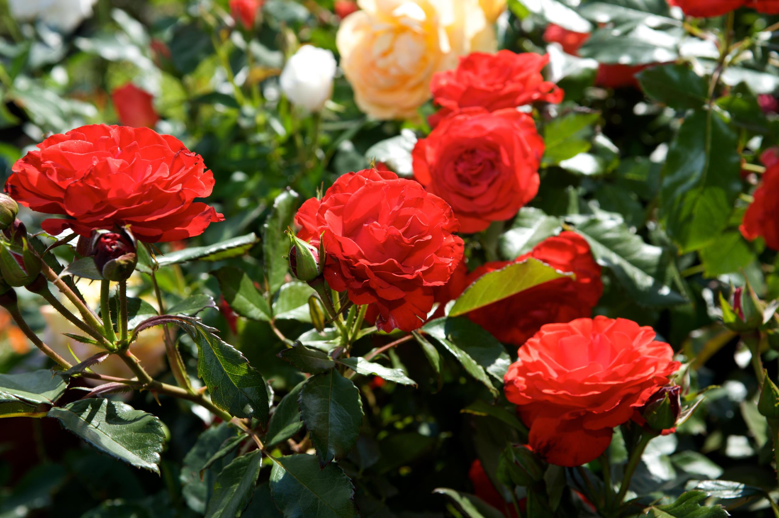 Rote Rosen der Manz Gartenwelt in Stühlingen-Schwerzen am Hochrhein.